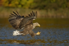 Feldberger_Seen_Seeadler_01