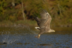 Feldberger_Seen_Seeadler_02