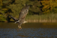 Feldberger_Seen_Seeadler_03